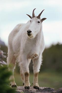 Mountain goat. Click image to expand.
