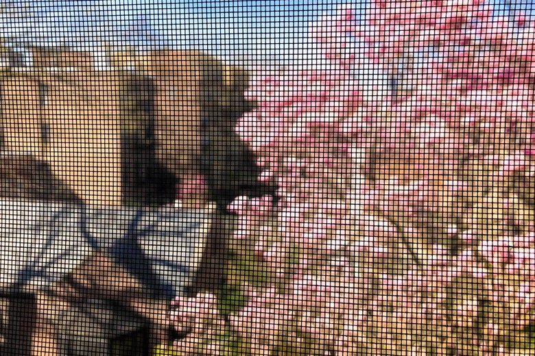 The mesh of a window screen gently blurs a view of a blooming cherry blossom tree.