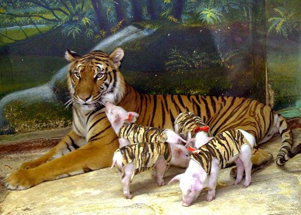 Tourists watch a tigress with piglets at the Sri Racha tiger zoo, in Chonburi province southeast of Bangkok, November 2004.