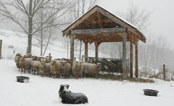 border collie and sheep in snow