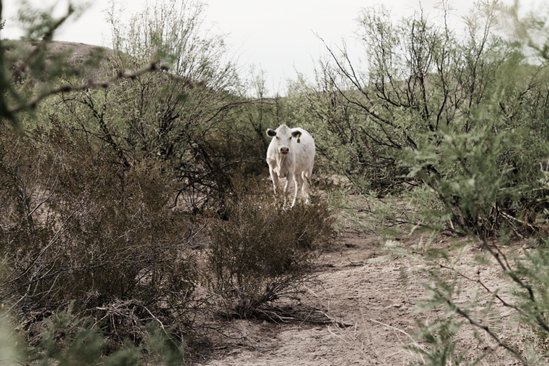 A white cow in the middle of the desert scrub.