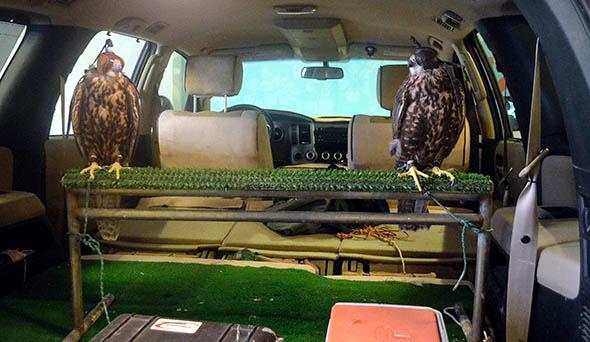Ziggy (left) and Marley (right), both saker falcons, arrive at a hotel for a pigeon control exercise.