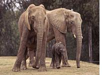 Elephants: not just for zoos, anymore.          Click image to expand.