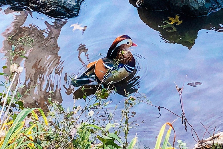 The mandarin duck in Central Park.
