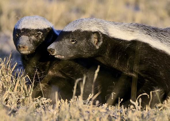 Animal Fights Can A Honey Badger Win A Fight With A Wolverine