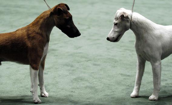 Two smooth fox terriers eye each other during judging at the 130th Westminster Kennel Club dog show