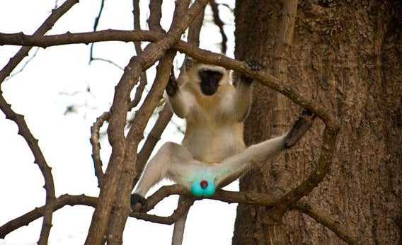 A Velvet monkey's neon scrotum.