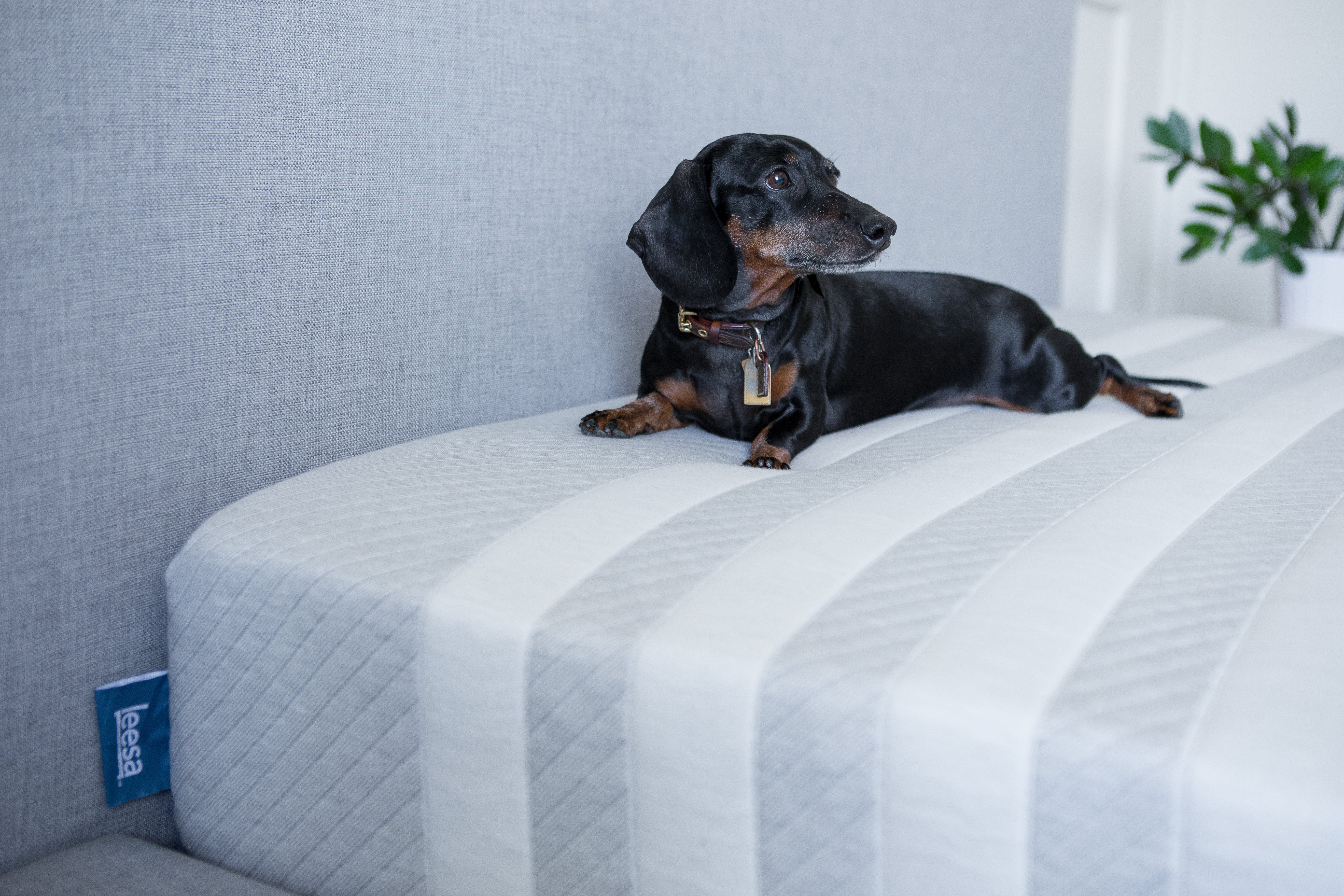 Dog on a Leesa mattress