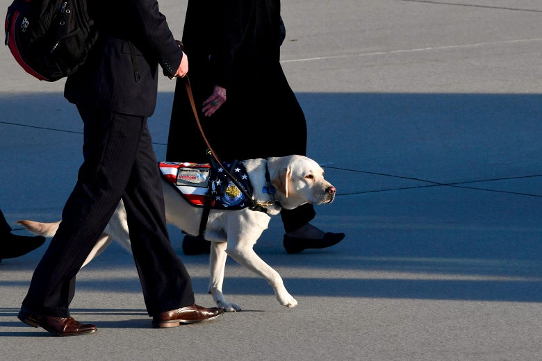 Sully, the Lab retriever, walks on the tarmac at Joint Base Andrews on Monday after former President George H.W. Bush's casket is carried to a hearse.