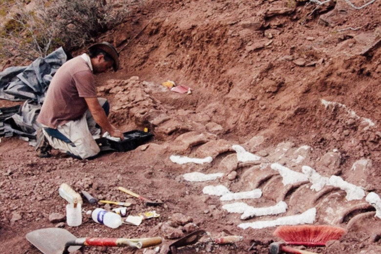 A man kneels in red dirt in which large fossilized vertebrae are partially buried.