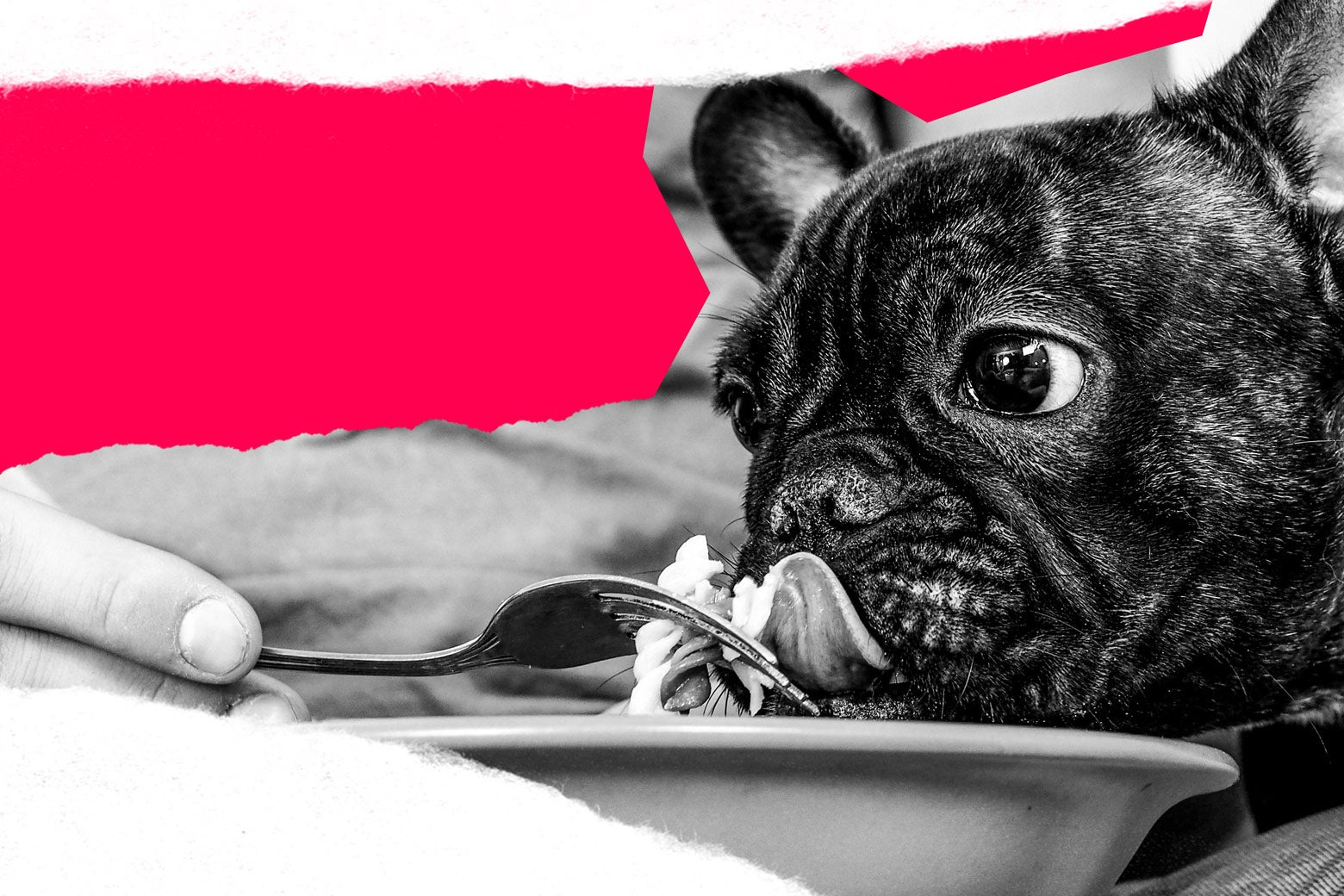 A pet owner feeds his dog from a plate with a fork.