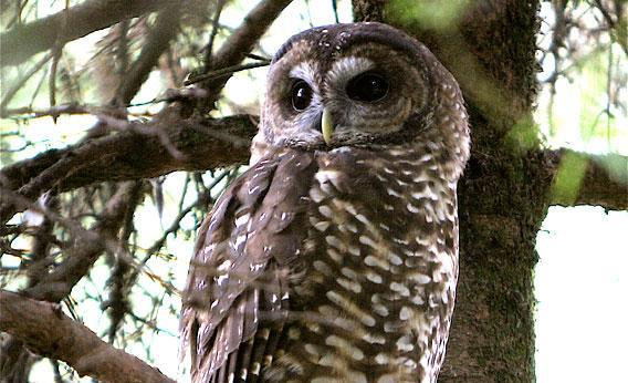 Northern Spotted Owl (Strix occidentalis caurina) at the Oregon Zoo, 2006.