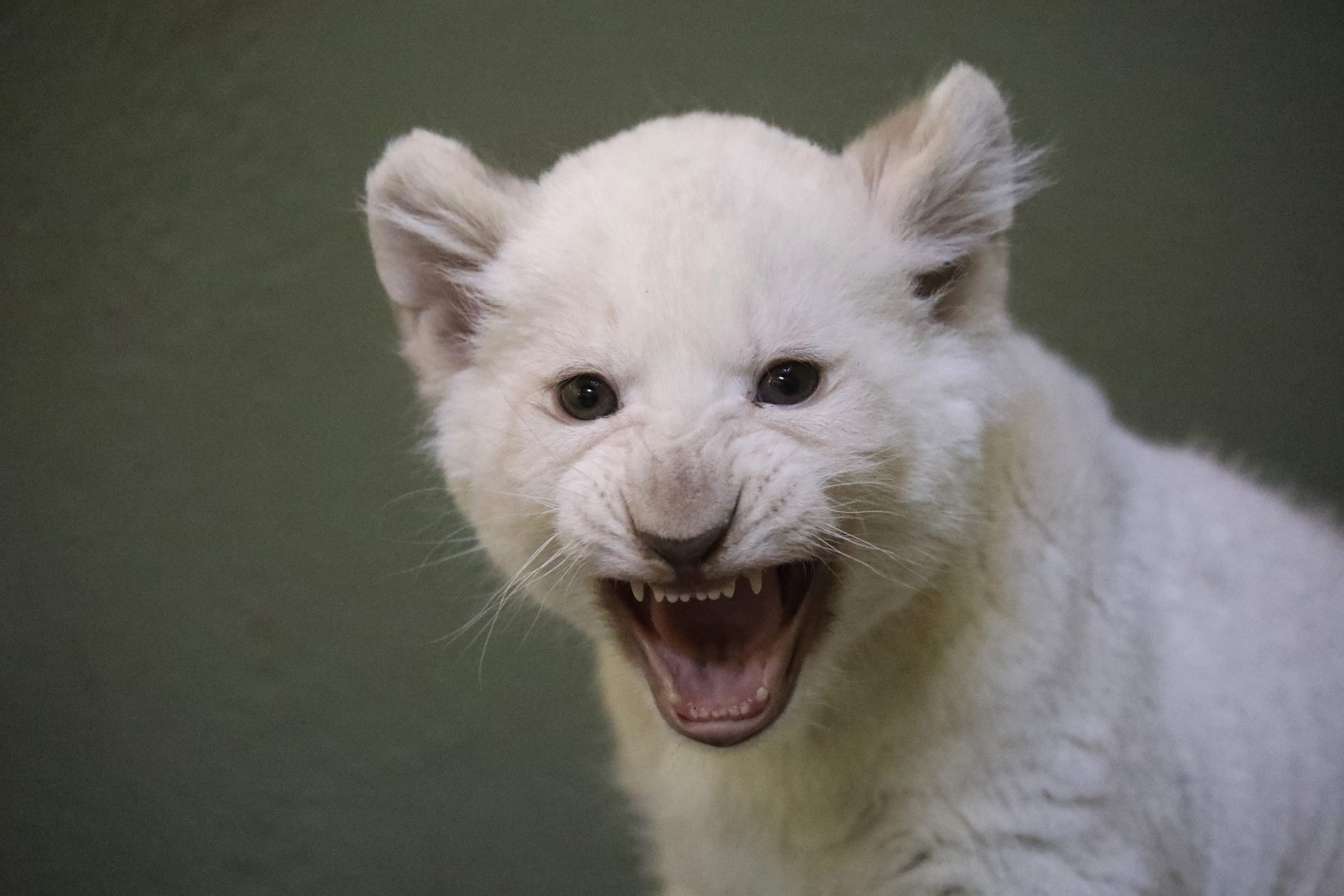 One of two white lion cubs hisses in their enclosure during their first outing at the zoo in Hodonin, southern Moravia, 60 km South of Brno, before their vaccination, on February 5, 2019. - The lion cubs were born at the end of 2018.