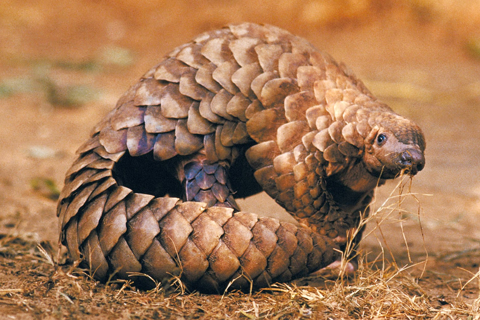 A pangolin in the wild.