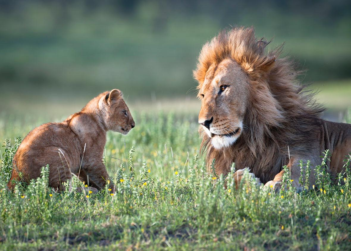 A male african lion plays with his 4-month-old cub.