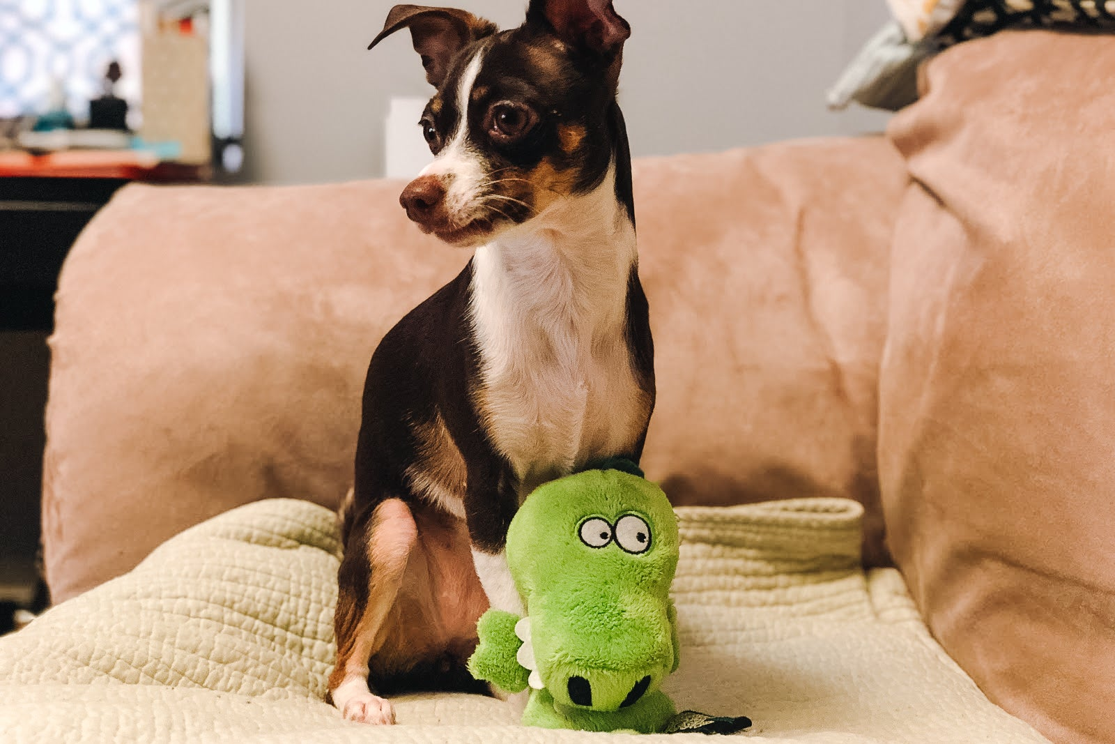 small dog with Hear Doggy ultrasonic squeaker toys