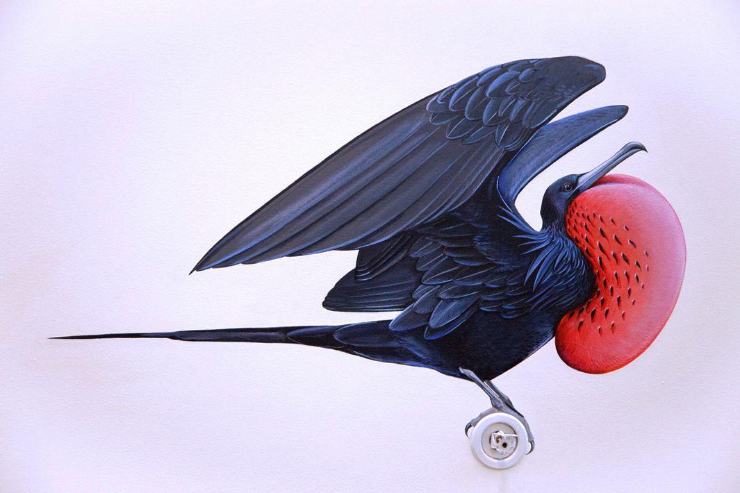 25_Magnificent Frigatebird (1)