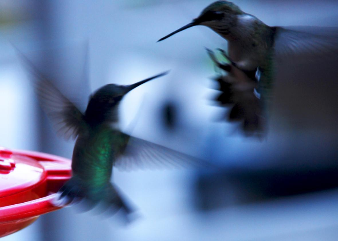 Hummingbird Aggression Fierce Deadly Fights For Territory Nectar