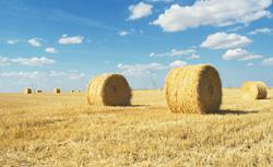 Wheat hay. Click image to expand.