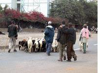 Food on the hoof in downtown Addis