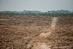 Rainforest destruction at the Ledo Lestari palm oil plantation. Click image to expand.