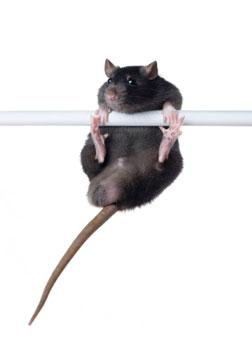 Rat on a bar.