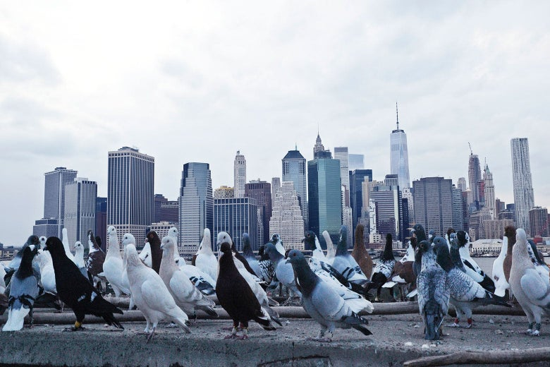 Group of pigeons on concrete, with downtown New York skyline in background