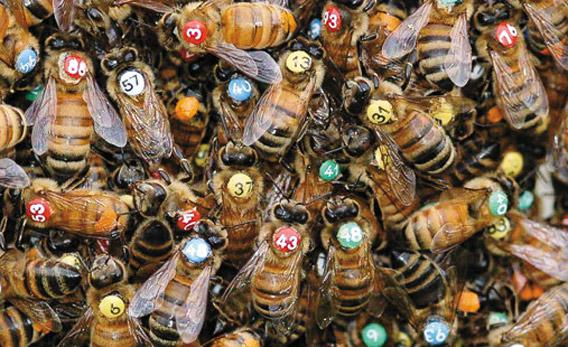 Thomas Seeley's colored and numbered bees.