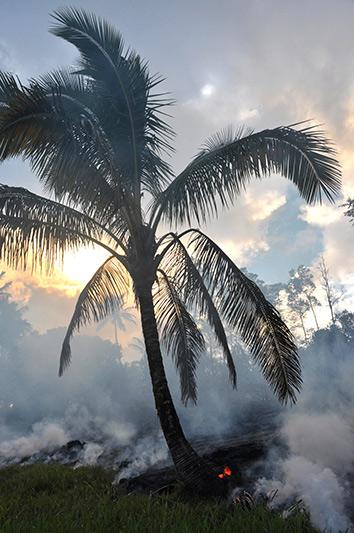On Sunday, the lava burned this palm tree.