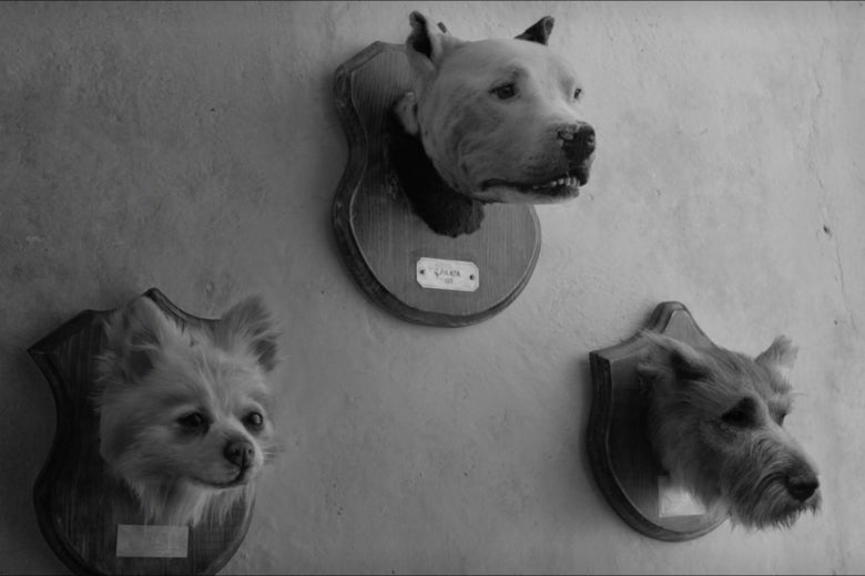 Taxidermy dog heads.