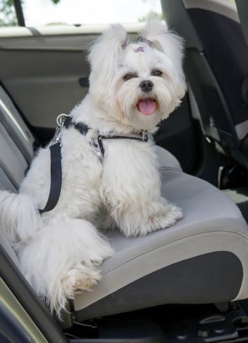 Dog Car Safety >> Car safety: Should pets wear seat belts when riding in cars?