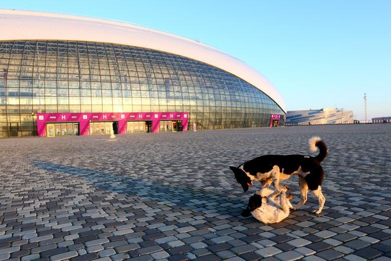 SOCHI, RUSSIA - FEBRUARY 02:  Stray dogs wrestle outside the Bolshoy Ice Dome ahead of the Sochi 2014 Winter Olympics at the Olympic Park on February 2, 2014 in Sochi, Russia.  (Photo by Quinn Rooney/Getty Images)