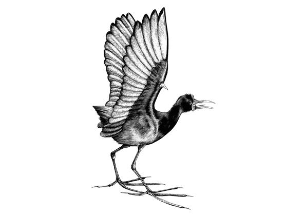 Female jacana, drawn by David J. Truss
