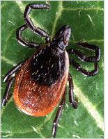 Adult deer tick. Click image to expand