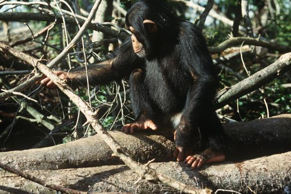 Common Chimpanzee (Pan troglodytes).
