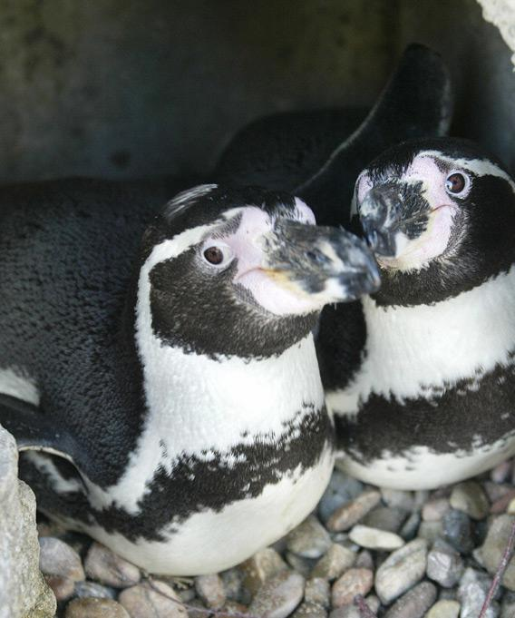 Male homosexual penguins