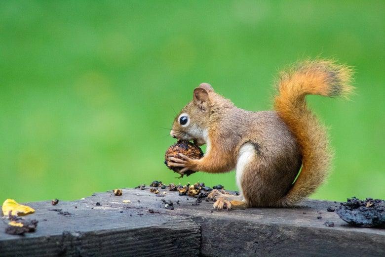 A squirrel sitting on a deck ledge eats an acorn.