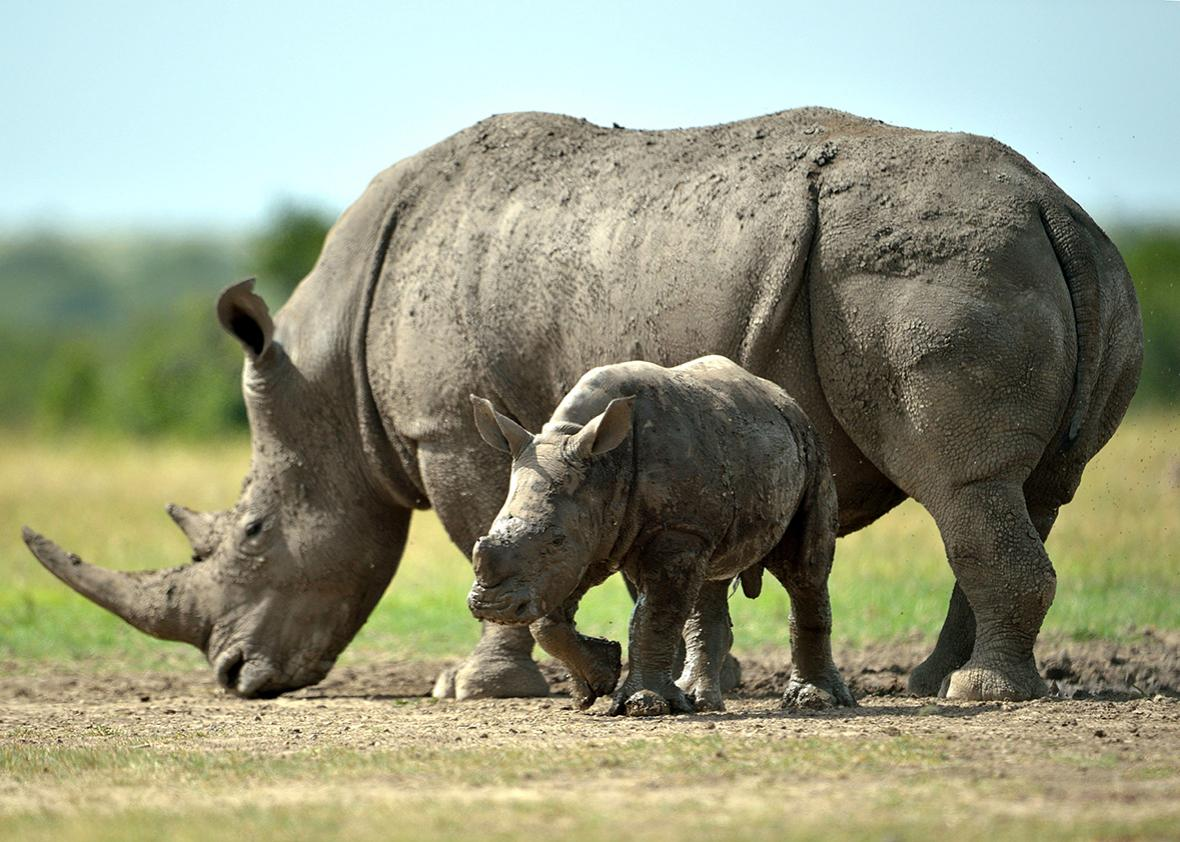 A southern-white female rhino with her calf roam the ol-Pejeta conservancy on June  14, 2015 situated at the foot of Mt. Kenya approximately 300 kilometres north of Kenyan capital, Nairobi.