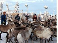 Separating the reindeer: Look first at the ear markings, and watch out for those antlers