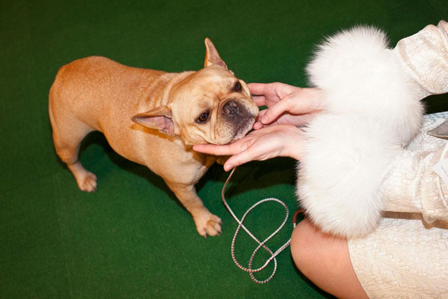 """Frenchie and Fur from """"Best in Show"""" 2012"""
