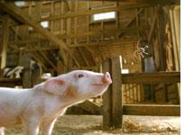 Wilbur looks forward to Charlotte's Web          Click image to expand.