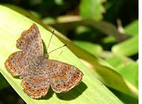 One of the dozens of butterfly species found in the cloud forests of Volcán Mombacho