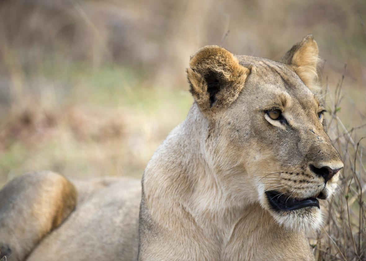 The Alleged Lion Killer Could Be Tried in the U.S.