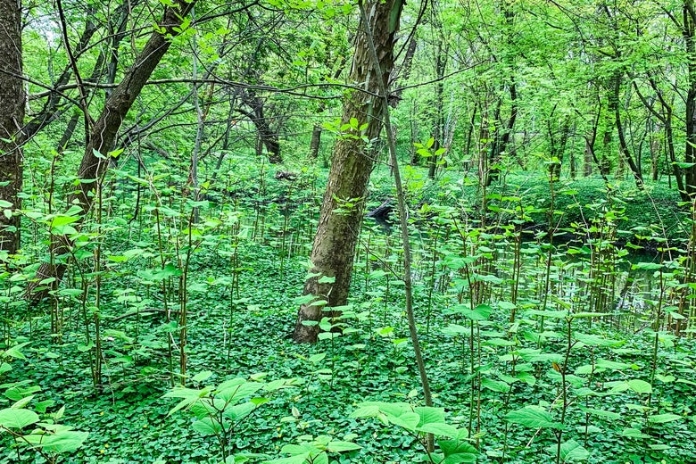 Knotweed rises on the banks of the Bronx River in New York City, where more than 200 acres of parkland is covered by knotweed.