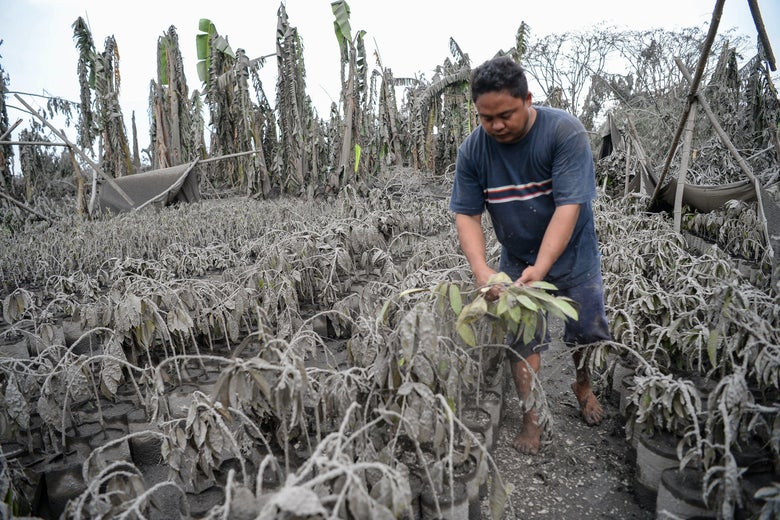 A field of plants covered in mud and ash. A barefoot man handles one of the plants, which has been dusted off.