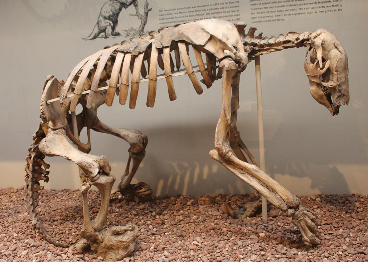 A giant ground sloth.