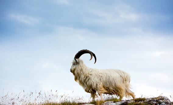 Cashmere Goat at Wales