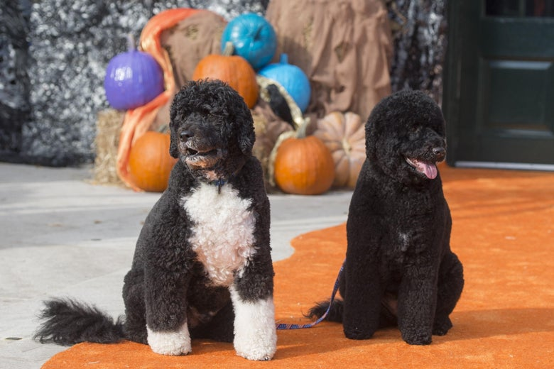 Bo and Sunny pose for photos on the South Lawn of the White House in Washington, D.C. on October 30, 2015, as the White House prepares to host thousands of children and their families as they trick-or-treat for Halloween.