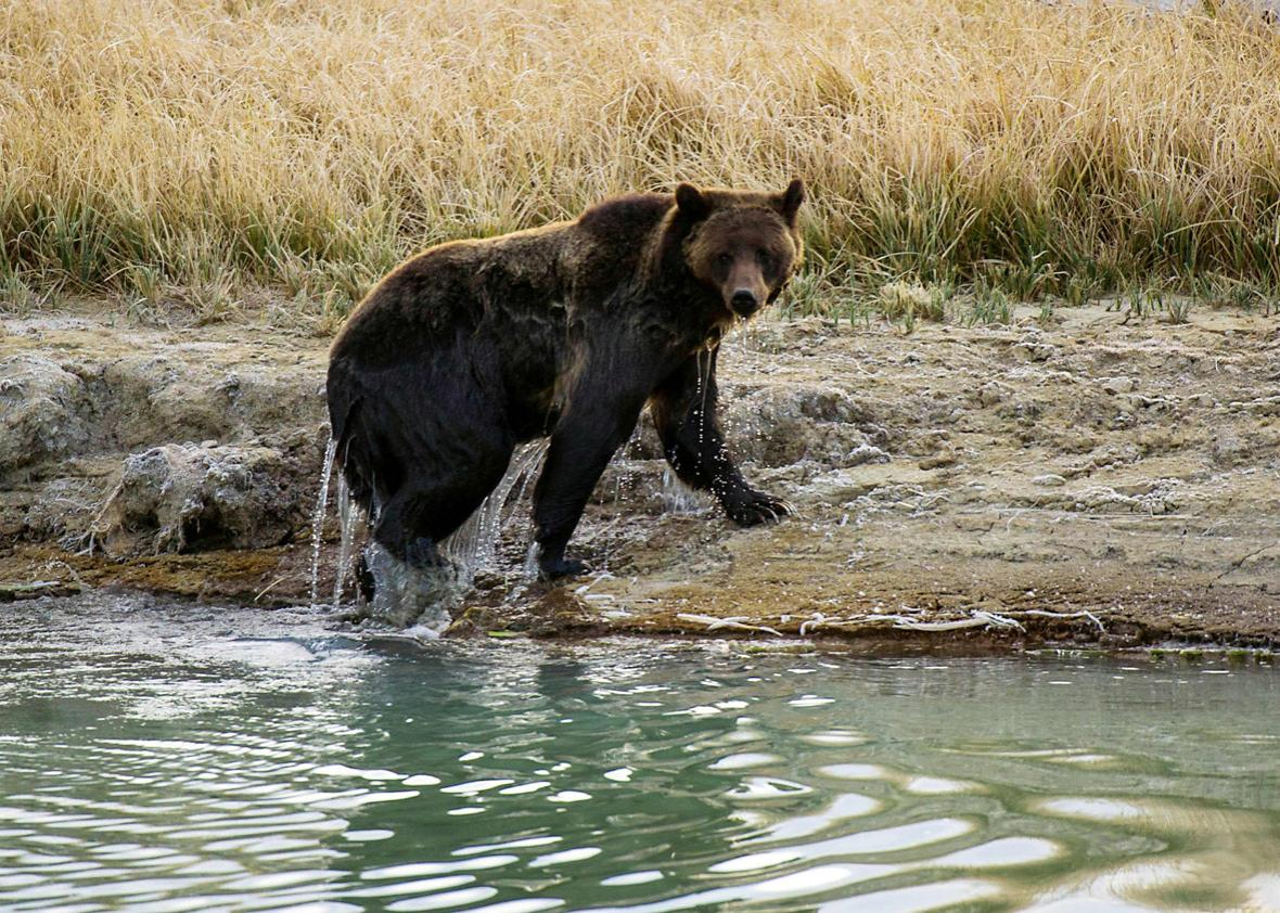 A female Grizzly bear exits Pelican Creek October 8, 2012 in the Yellowstone National Park in Wyoming