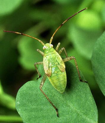The alfalfa plant bug, Adelphocoris lineolatus, is a non-native plant pest.